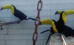 Gorgeous Keel Billed Toucans in our Aviary . Not sexed. - Not Tamed yet - Call for Price