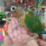 conure photo