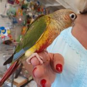 pineapple conure 44