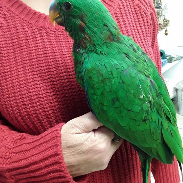 eclectus male 3