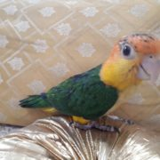 white belly caique