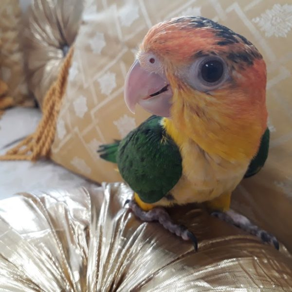 white belly caique 4