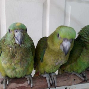 Birds for Sale - Tropic Island Bird and Supply